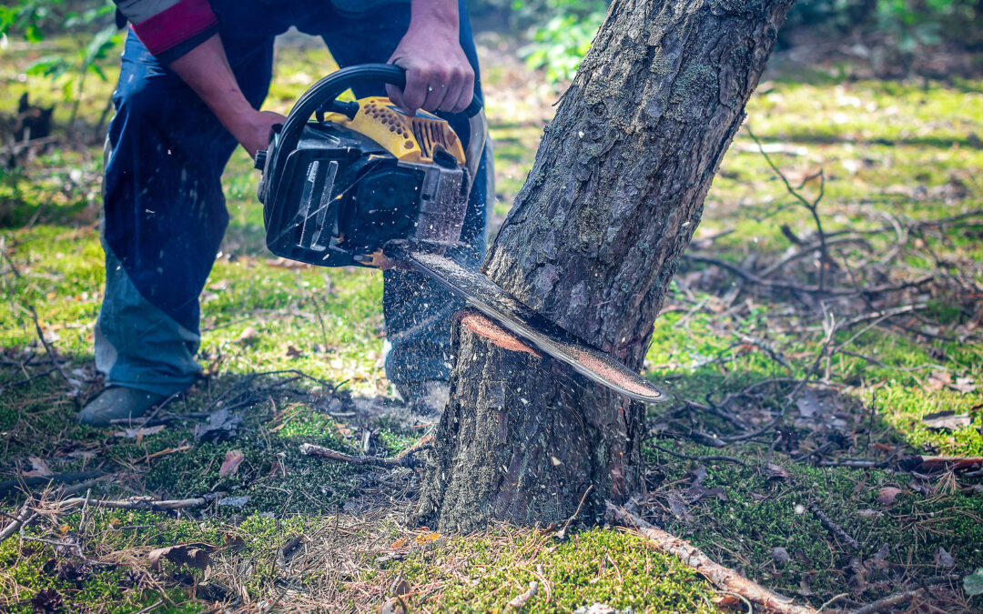 How do You Cut Down a Big Tree?